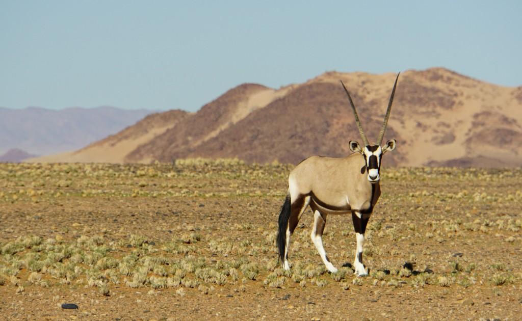 Suama klärte uns über die Anpassungsfähigkeit der Oryx-Antilope auf. Dieses Tier braucht wochenlang kein Wasser. Im Nasen- und Rachenraum verfügt es über eine Art Klimatisierung, mit der es das Blut herunter kühlt, bevor dieses das Gehirn erreicht.