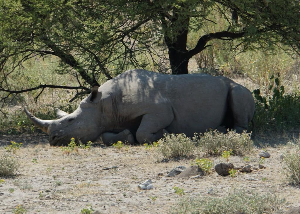 Hier im Park schlafen die Nashörner direkt an der Straße. Kein Vergleich mit den scheuen Nashörnern im Damaraland.